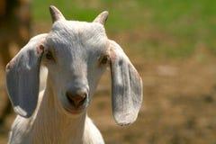nubian山羊的孩子 免版税库存图片
