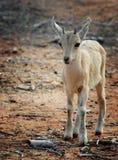 nubian高地山羊的孩子 库存照片