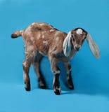 在蓝色的黑,白色和红色Nubian羊羔 库存照片