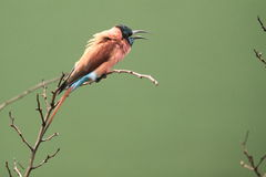 Nubian bee-eater Royalty Free Stock Image