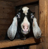 Nubian black and white goat in barn Stock Photo