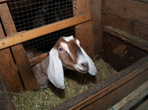 Nubian brown goat in barn Stock Photos