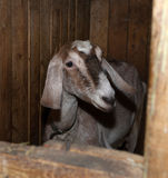 Nubian brown goat in barn Royalty Free Stock Image