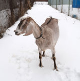 Nubian brown goat standing on snow Royalty Free Stock Images