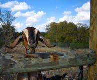 Nubian dair goat royalty free stock images