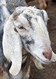Nubian goat. Closeup of white Nubian Goat Royalty Free Stock Photo