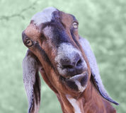 Nubian Goat. A Nubian goat mugs for the camera. Selective focus on the snout Stock Photos