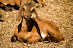Nubian Goat. A cute nubian goat enjoys a sunny day at a goat cheese operation Stock Images