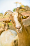 Nubian goat. Close up portrait of a domestic nubian goat Royalty Free Stock Images