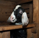 Nubian goat in barn Stock Image