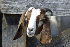 Brown and White Goat. A brown and white goat looking out from pen at a farm Royalty Free Stock Photography
