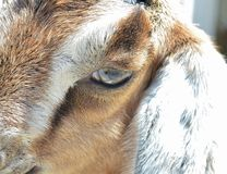 Nubian Goat Eye Stock Image