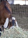 Nubian Goat Eating Hay. A Nubian goat eating hay, fencing blurred in background. The Anglo-Nubian, or simply Nubian in the United States, is a breed of domestic royalty free stock photography