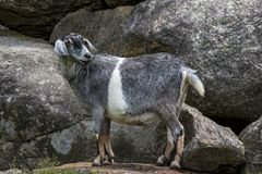 Nubian Goat Mix Stock Image
