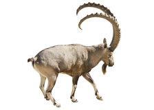 Nubian goat mountain on a white background Royalty Free Stock Photography
