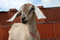 с русс Beautiful thoroughbred Nubian goat stands near a brick fence on the farm in the summer royalty free stock images