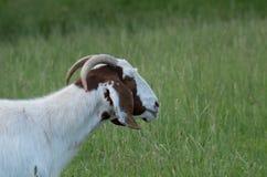 Nubian Goat. Old Nubian goat on the farm Royalty Free Stock Image