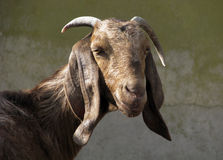 Nubian goat. Stock Photography