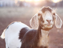 Nubian Goat in Sunset Stock Image