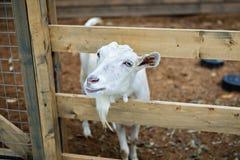 Nubian goat in tne pen Stock Image