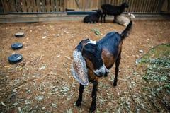 Nubian goat in tne pen Royalty Free Stock Photo