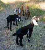 Nubian goats at a farm in florida Stock Image