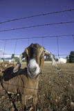 Nubian goats pokes through the fence. Stock Photography