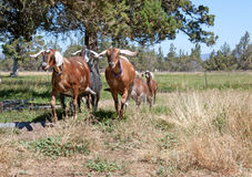 Nubian Goats Running In A Field. A herd of comical pet Nubian doe goats with long ears and udders flying, running in a field Royalty Free Stock Image