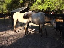 Horses and goats in ocala stock video footage