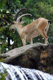 nubian ibex Arkivfoto