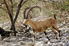 Nubian Ibex Royalty Free Stock Photos