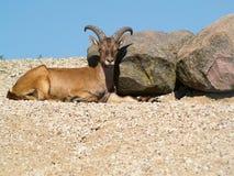 Nubian ibex Arkivbilder