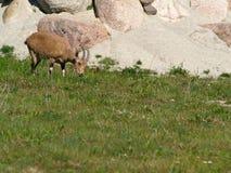 Nubian ibex Arkivbild