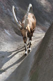 Nubian Ibex. Big Horned Mountain Goat Walking Down Steep Hill Stock Photography