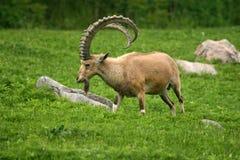 nubian ibex Arkivfoton