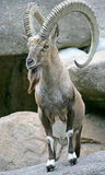 Nubian ibex 3 royalty free stock photos