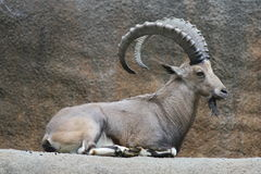 Nubian Ibex. Stock Photos