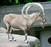 nubian ibex 4 Royaltyfria Foton