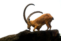 nubian ibex Fotografia Stock