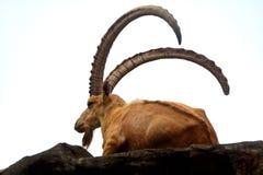 nubian ibex Obraz Stock