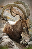 nubian ibex Royaltyfria Foton