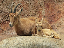 nubian ibex Royaltyfri Bild