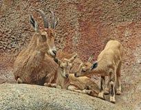 nubian ibex Royaltyfri Fotografi