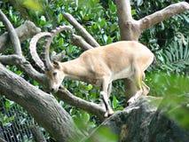 nubian ibex Royaltyfria Bilder