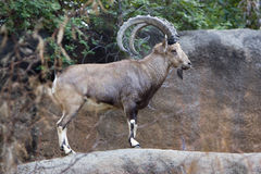Nubian Ibex. A Nubian Ibex goat standing on a rock ledge. The Nubian ibex is a relatively small, mountain-dwelling goat royalty free stock photography