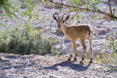 Nubian ibex capra Royalty Free Stock Photo