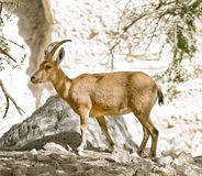 Nubian ibex capra. Young nubian ibex  in Ein-Gedi Israel Royalty Free Stock Images