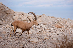 Nubian Ibex (Capra nubiana). A Nubian ibex (Capra nubiana) grazes among the rocky coast of the Dead Sea in the Jordan Valley of the West Bank Royalty Free Stock Photos