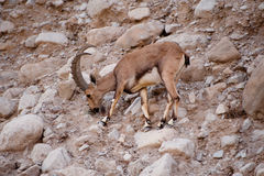 Nubian Ibex (Capra nubiana) Royalty Free Stock Photos