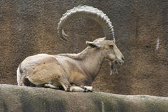 Nubian Ibex (Capra nubiana) Stock Photos